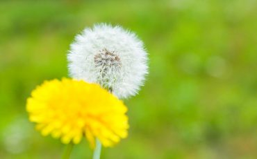 Flower Dandelion grass green