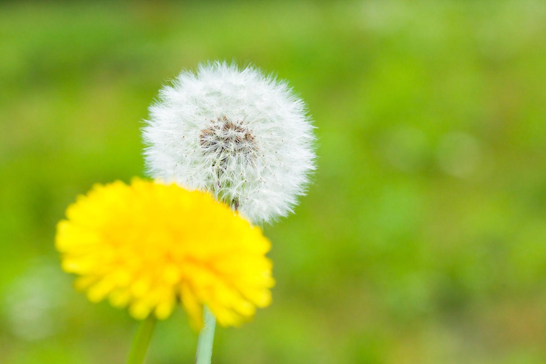 Flower Dandelion grass green